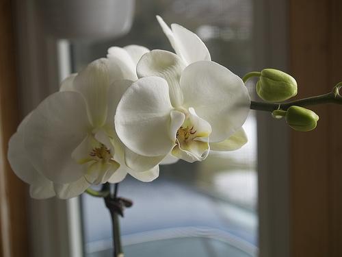 Valentine Phalaenopsis