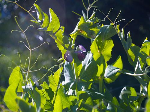 Capuchijners Pea Flowers