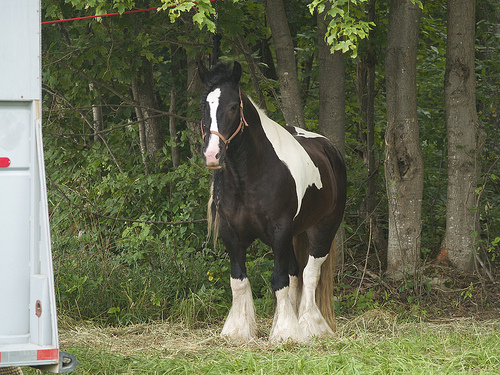 5-Day Ride - Bo, a rare Gypsy Vanner