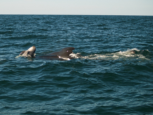 Pilot whales at Pleasant Bay, Cape Breton