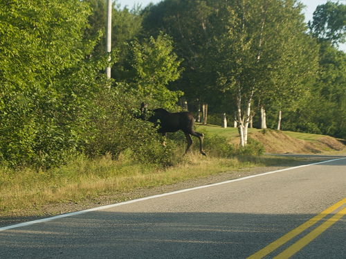 Cape Breton moose-miss