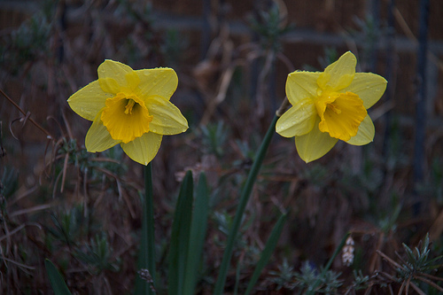 Early April garden - Daffodils