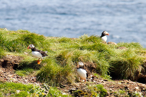 Puffins -- parrots of the sea
