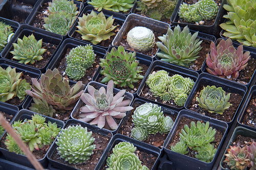 Succulents for sale at the market