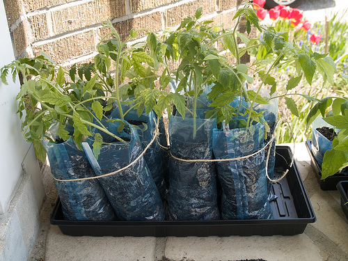 Tomato graduates potted in recycled milk bags