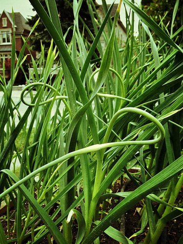 Garlic Scapes, prior to picking