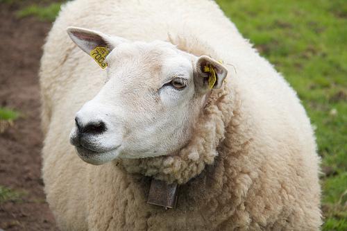 Friendly Norwegian sheep at the Jærmuseet