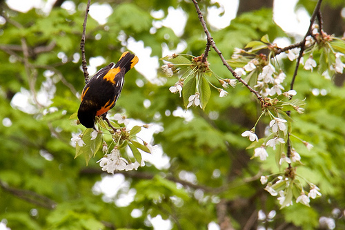 Oriole party