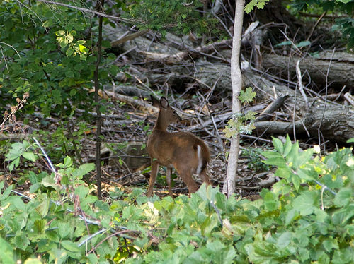 Deer in the Ravine
